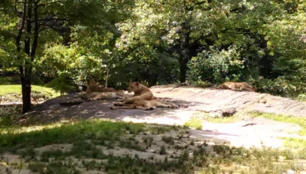 Lions - Triplets