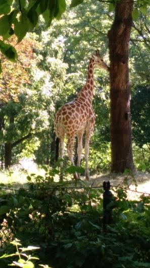 Giraffe - Bronx Zoo