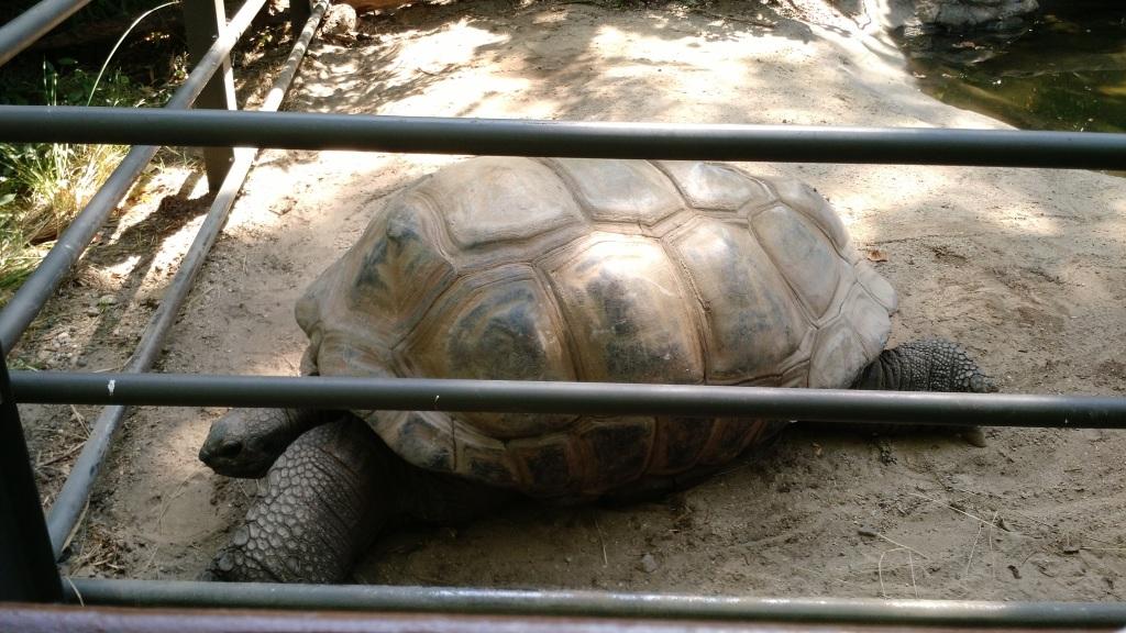 Giant Turtle - Bronx Zoo