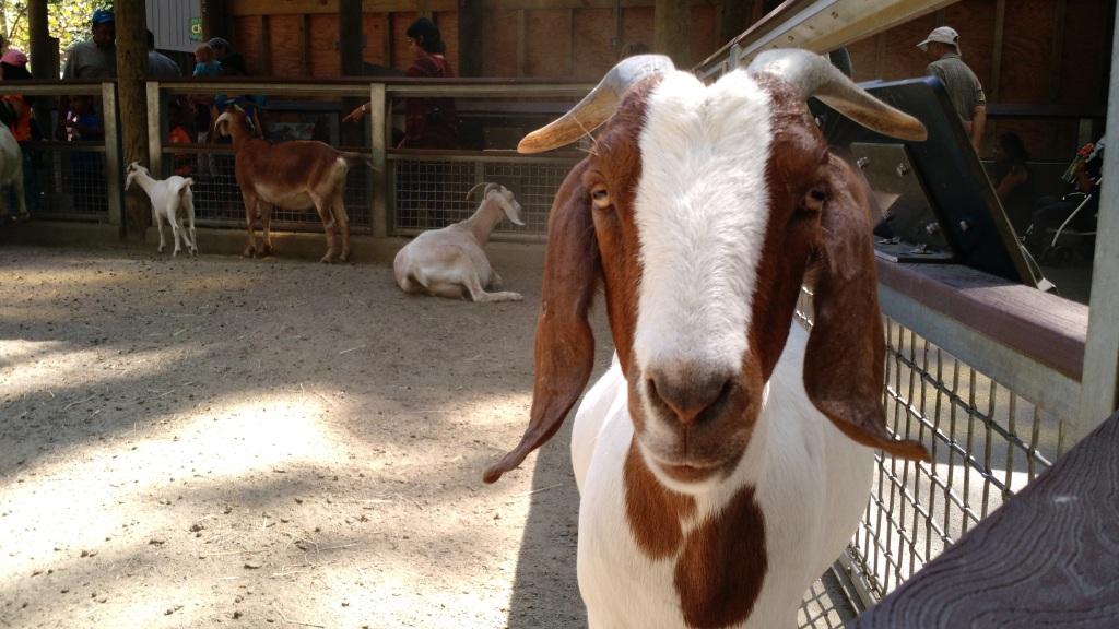 Goat - Bronx Zoo